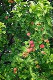 在苹果树的美味苹果 库存图片