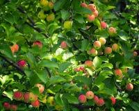 在苹果树的美味苹果 库存照片