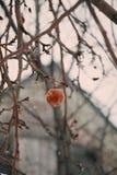 在苹果树的老苹果在冬天 免版税库存照片