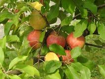 在苹果树的苹果计算机 免版税库存照片