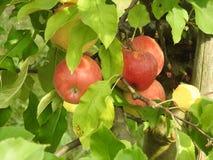 在苹果树的苹果计算机 免版税图库摄影