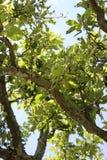 在苹果树的苹果计算机 库存图片