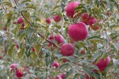 在苹果树的苹果 免版税库存照片