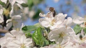 在苹果树的蜂蜜蜂在有白色开花的春天 影视素材
