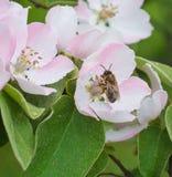 在苹果树花开花的蜂蜜蜂 库存图片