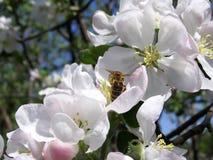 在苹果树花的蜂  库存图片
