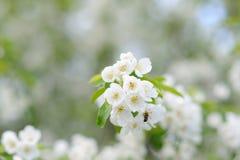 在苹果树蜂的太阳春天从花收集花蜜 免版税库存图片