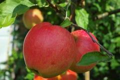 在苹果树,红色appl新收获的大红色成熟苹果  库存图片