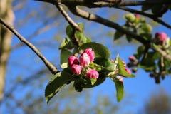 在苹果树,被关闭的花的开花 库存照片