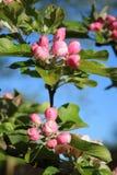 在苹果树,被关闭的花的开花 免版税库存图片