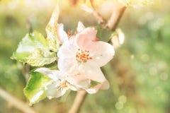在苹果的特写镜头在抽象春天背景开花 免版税库存照片