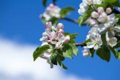 在苹果花的黄蜂 免版税库存照片