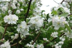 在苹果leafage的许多白花在春天 库存照片