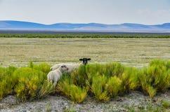 在范围的绵羊 免版税库存图片