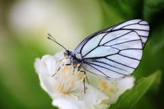 在茉莉花的白色蝴蝶 库存图片