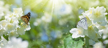 在茉莉花的蝴蝶 库存照片