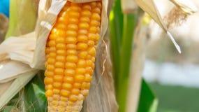 在茎特写镜头的玉米 免版税库存图片