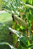 在茎生长的玉米 库存照片