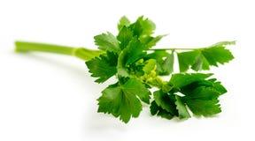 在茎的新鲜的绿色芹菜叶子 免版税库存照片