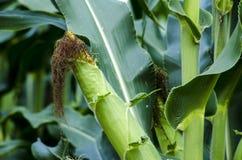 在茎的特写镜头玉米 库存图片