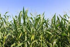 在茎的特写镜头玉米 库存照片