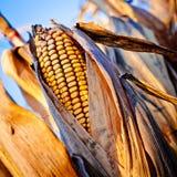 在茎的玉米特写镜头 免版税库存图片