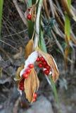 在茎的红色莓果 免版税库存照片