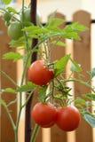 在茎的蕃茄 免版税库存照片