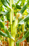 在茎的年轻玉米棒玉米 免版税库存照片