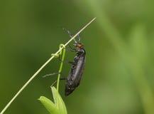 在茎的黑臭虫 免版税图库摄影