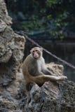 在茫然的一只乏味猴子在阳光下 库存照片