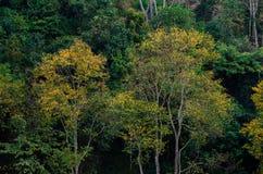 在茶农厂有机茶农厂2000年土井Ang的黄色叶子树绿色春天Khang清迈泰国 库存照片