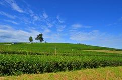 在茶农场的多云天空小山的 库存图片