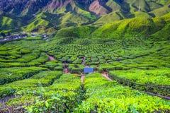 在茶园的最美好的风景在马来西亚 免版税库存图片