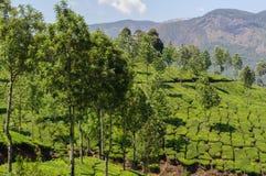 在茶园的看法,在Munnar附近 库存照片