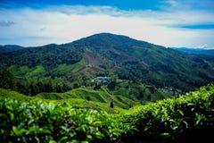 在茶园的美丽的景色在喀麦隆高地 库存照片