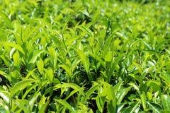 在茶庄园, thalawakele的茶叶,国家,斯里兰卡 免版税库存图片
