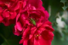 在茶玫瑰色flo的芽的一只绿色蚂蚱或蟋蟀昆虫 库存照片