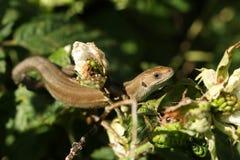 在荆棘灌木丛的小共同的蜥蜴蝎虎座Zootoca vivipara狩猎昆虫的 免版税库存图片