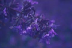 在荆芥属cataria或猫薄荷花的特写镜头 库存照片