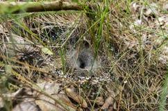 在草上的一个网 猎人` s蜘蛛的房子 在万维网的露水 库存图片
