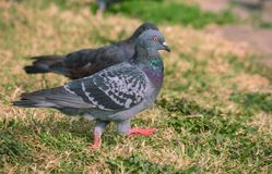 在草上色的鸽子 库存照片