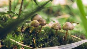 在草下的5五个蘑菇 免版税库存图片