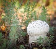 在草丛林的蘑菇  免版税库存照片