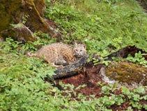 在草丛的美洲野猫 免版税库存照片
