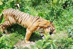 在草丛的老虎 免版税库存照片