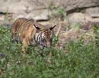 在草丛的虎犊 图库摄影