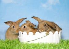 在草两的三个棕色兔宝宝在复活节篮子 免版税库存照片