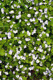 在草中的小蓝色花 图库摄影