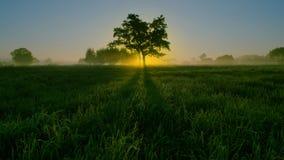 在草中的橡木 图库摄影